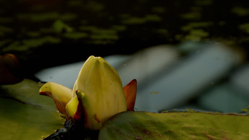 Time lapse opening of water lily flower  - HD stock footage clip