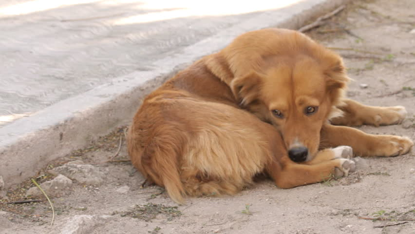 Homeless Dog Biting Fleas (HD). Homeless dog laying in a dirty sidewalk while finding fleas with his teeth. This is a mixed breed dog.  - HD stock footage clip