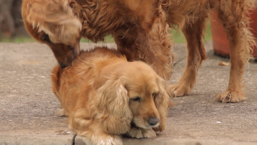 Dog Lick Her Vagina Stock Footage Video 10582610