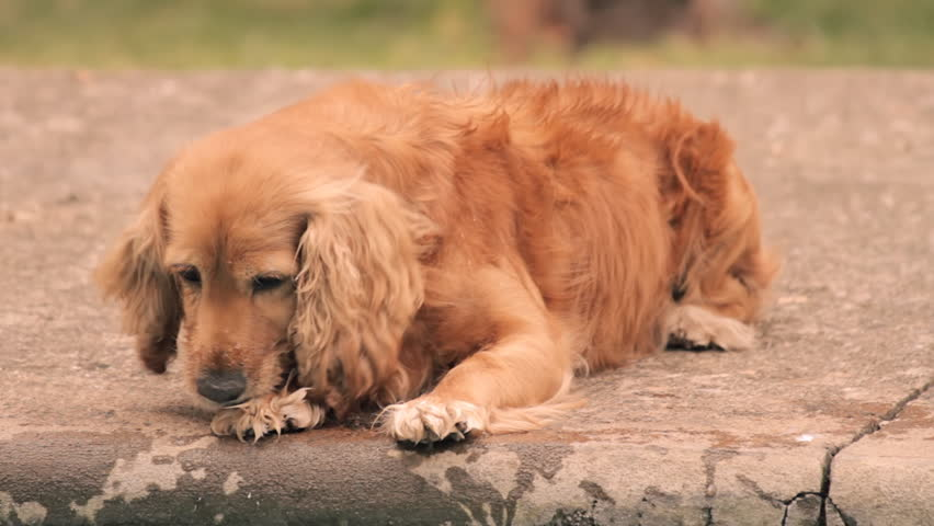 Dog Cleaning Paws (HD 24p). Female Cocker Dog cleaning paws after running thru a puddle. - HD stock footage clip