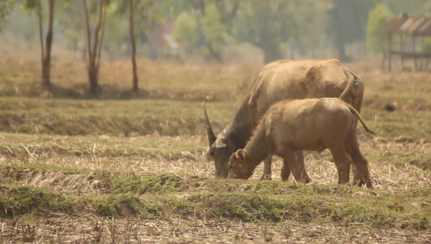 Two buffalo in the field eat grass - HD stock video clip