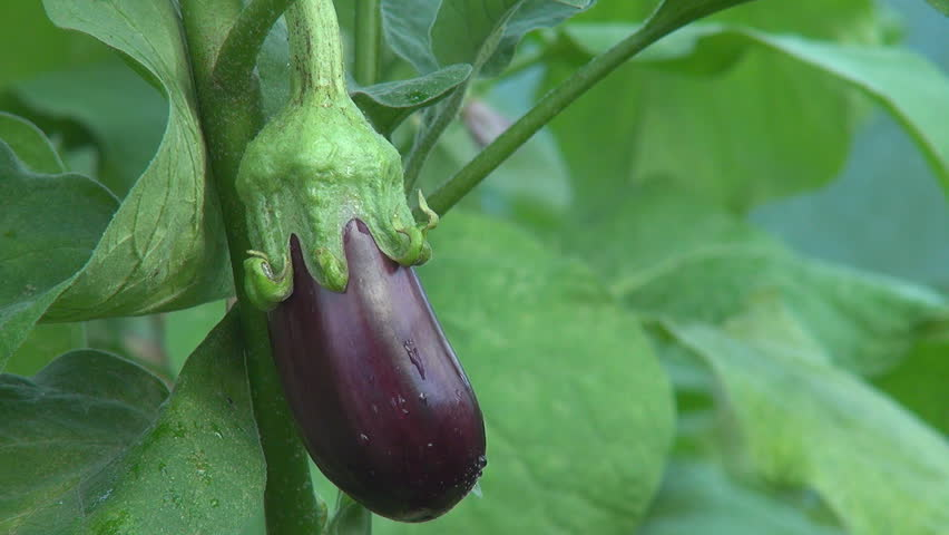 Aubergine, eggplant - HD stock video clip