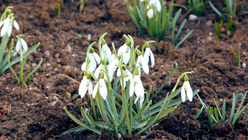 First spring snowdrops from fresh soil. Sunny day. HD1080p. Tripod.  - HD stock video clip