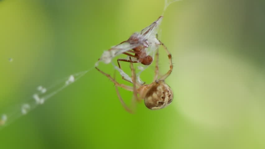 Spider Webbing Ant (HD). Orb Weaver spider capturing a red ant in its web.   - HD stock footage clip