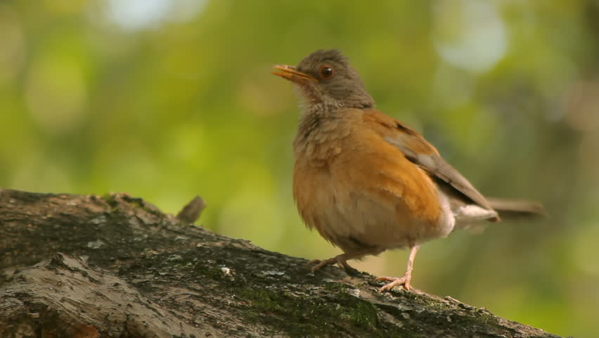 Robin Singing Three Takes (HD). Roufous-backed Robin bird in central Mexico singing to attract a mate. Three takes with ambient audio included. A strand of nest material is hanging on its beak.