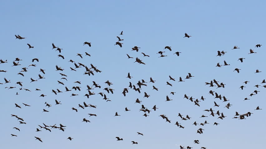 Hundreds of migratory birds soar across Arizona's clear, blue skies in winter. 1080p - HD stock video clip
