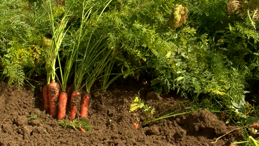 carrot harvest - HD stock footage clip
