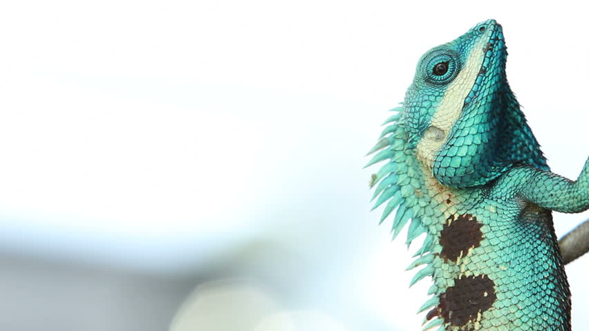 Beautiful tree lizard - HD stock video clip