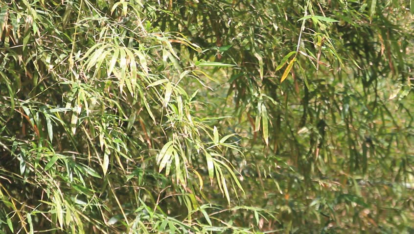 Bamboo leaves - HD stock footage clip