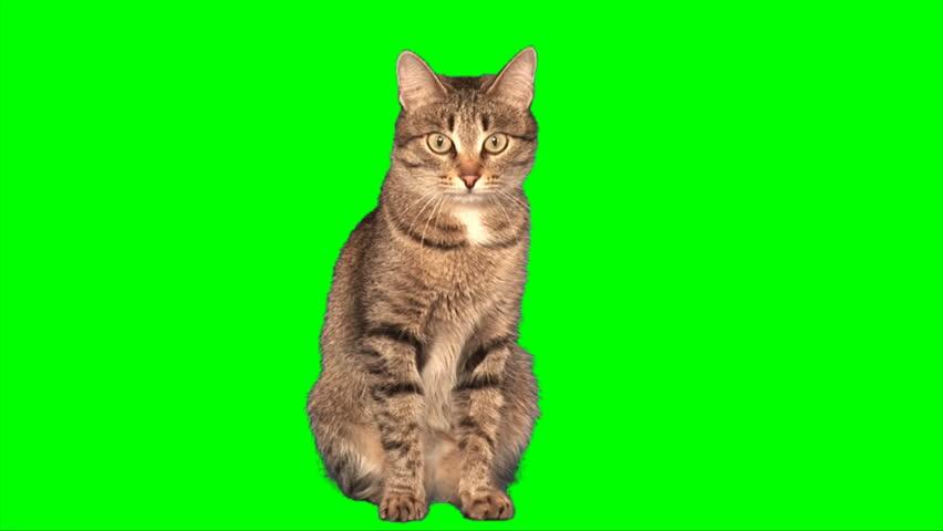 Grey stripy cat sits on green screen | Shutterstock HD Video #2172974