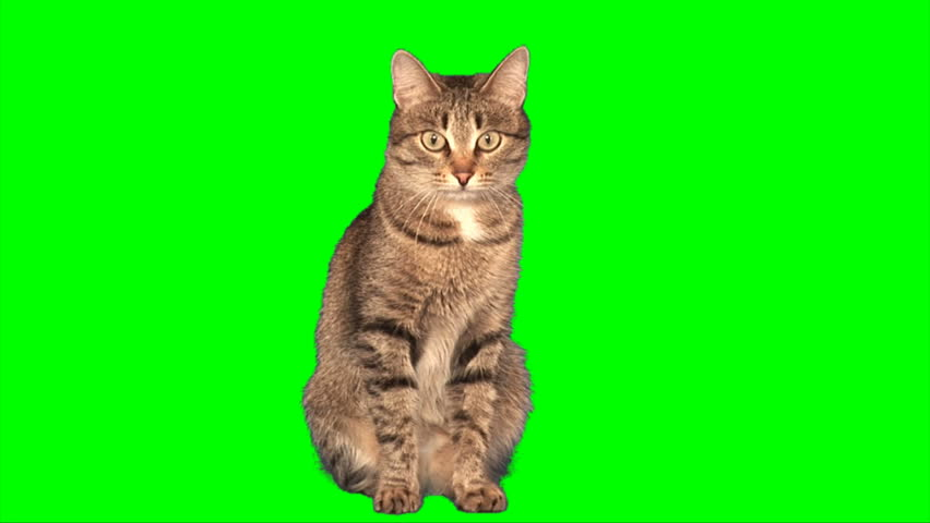 Grey stripy cat sits on green screen - HD stock footage clip