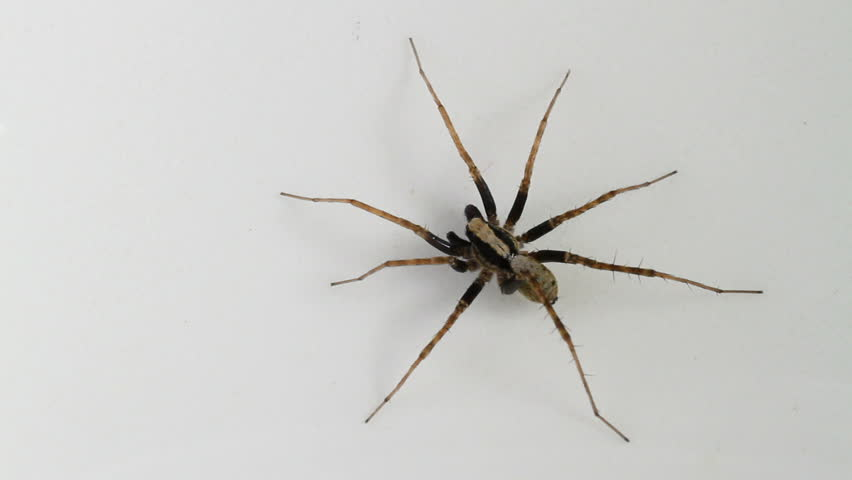 Male Pardosa lugubris spider, part of the family Lycosidae - Wolf spiders. - HD stock video clip