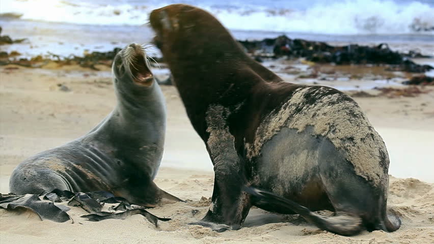 Sea lions mating - photo#5