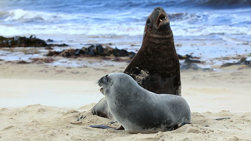 Sea lions mating - photo#22
