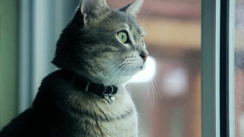 cat looking out a window - HD stock video clip