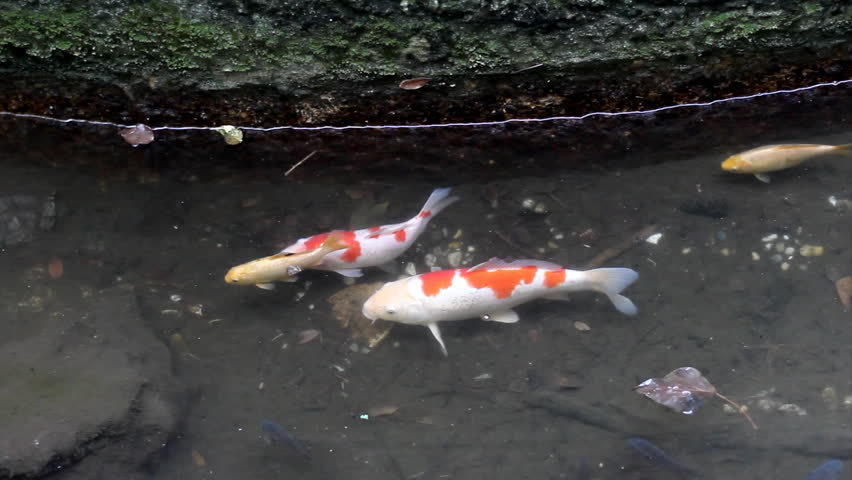 Koi fish swimming in the pond stock footage video 2281343 for Fish swimming video