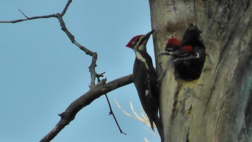 Pileated woodpecker feeding her chicks - HD stock video clip