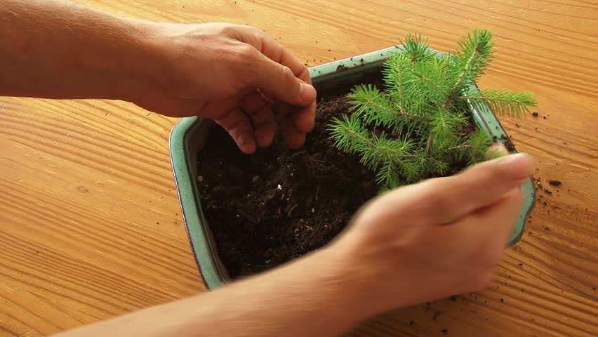 Person plants bonsai tree in pot and soil time lapse.