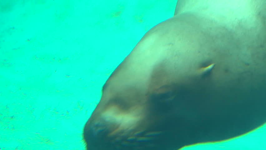 Underwater clip of large seal swimming up to camera lens and swims away, two