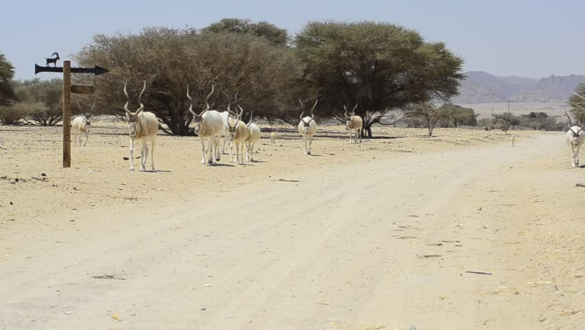 Header of Addax Nasomaculatus