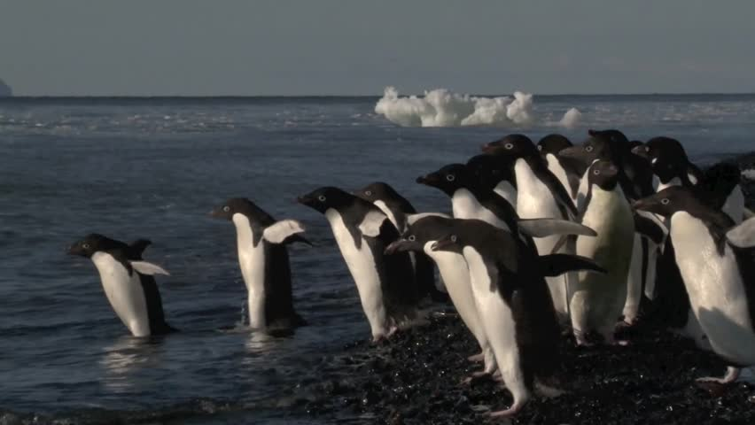 Adelie Penguins hesitate to go in the water - HD stock video clip
