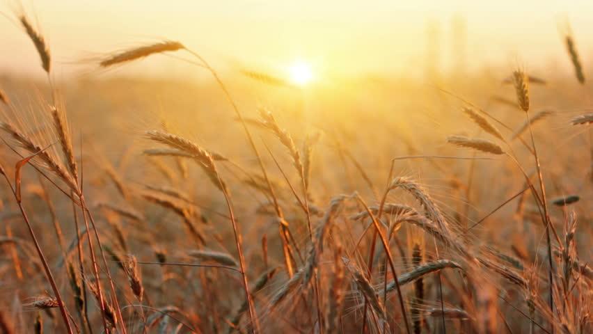 ears of wheat at dawn #2417549