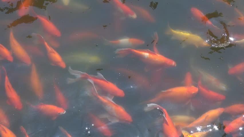 Beautiful koi fish stock footage video 2437808 shutterstock for Koi fish to pond ratio