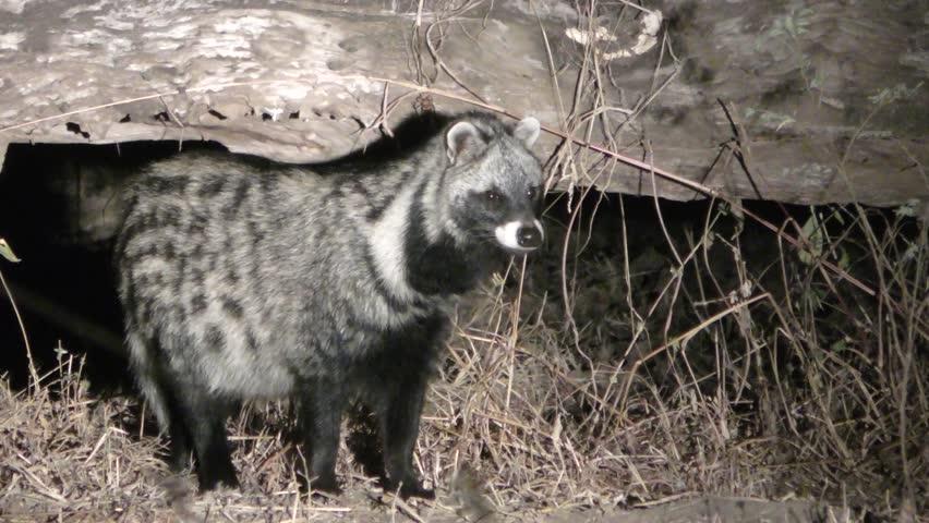Header of African Civet