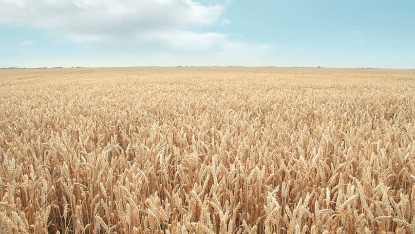 Wheat field and sky #2466212