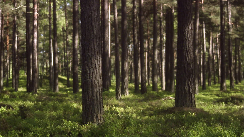 Forest. - HD stock video clip