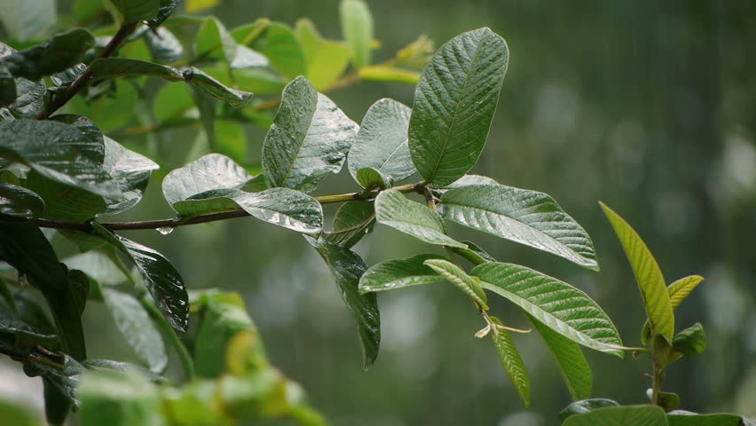 Guava Tree Leaves Rain Storm With Audio. - HD stock footage clip