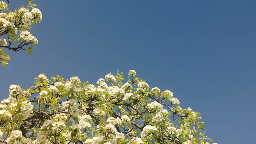 White little flowers of blooming branches at background blue sky #24872837