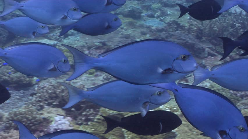 Header of Acanthurus albipectoralis