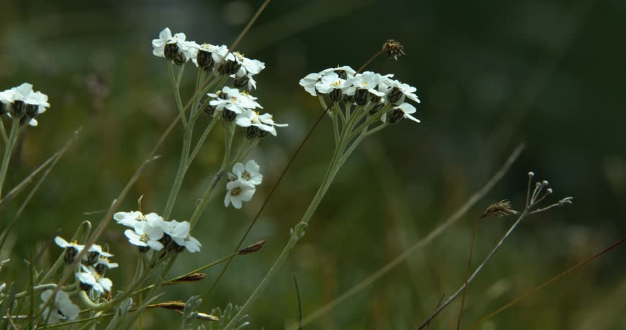 Header of Achillea clavennae