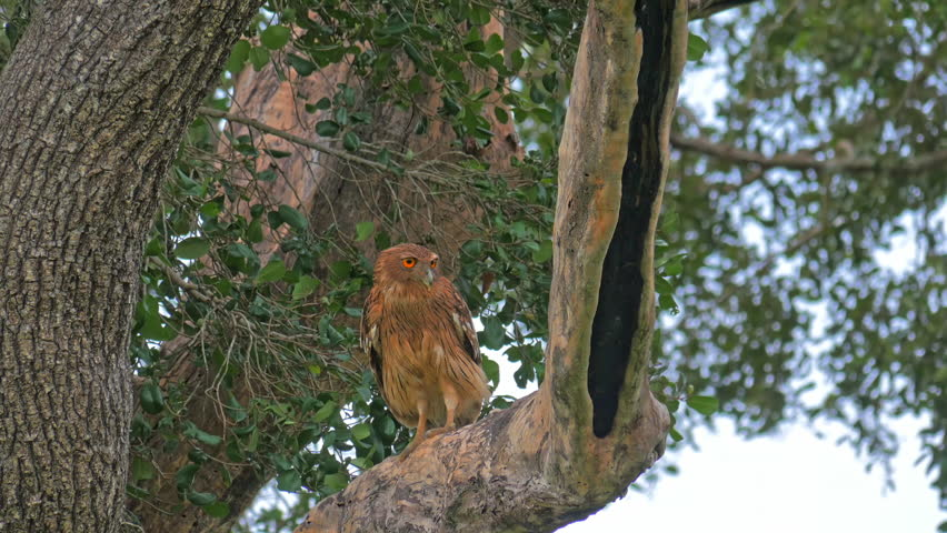 Wild animals safari and birdwatching tour in Yala park Sri Lanka. Brown Fish Owl in wild nature of forest reserve in asia | Shutterstock HD Video #25065626