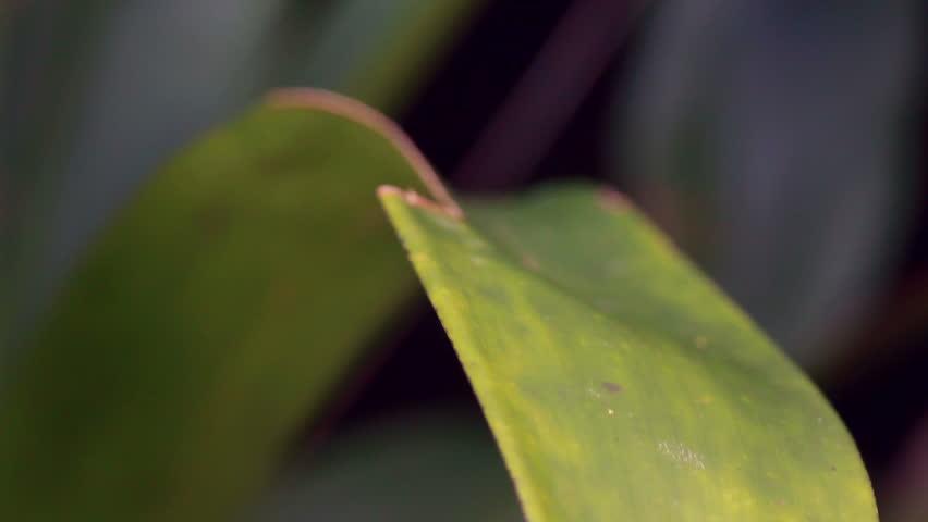 Broad Headed Treefrog Osteocephalus mutabor on a bromeliad leaf in rainforest, Ecuador - HD stock video clip