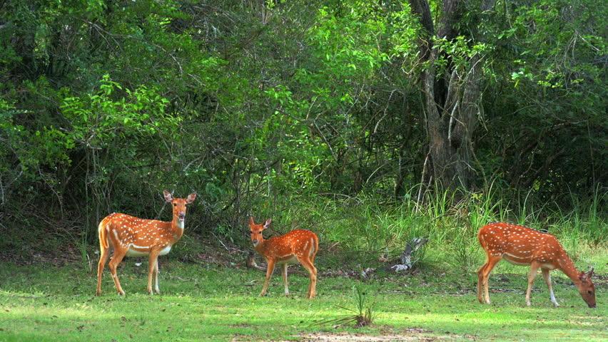Deer graze on meadow in forest woods of wild nature. Yala park, Sri Lanka | Shutterstock HD Video #25159523