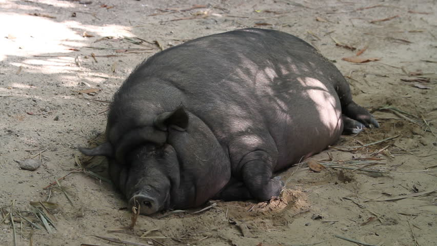 A fat pig of black color lies on the sand   Shutterstock HD Video #25191977