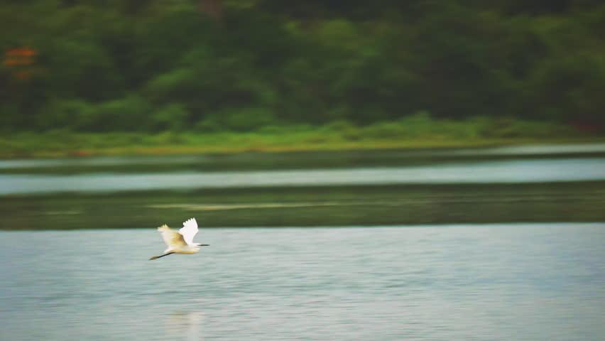 Eastern Great Egret Ardea Alba Modesta White Heron bird in Sri Lanka wild nature flying above lake water slow motion video | Shutterstock HD Video #25222397