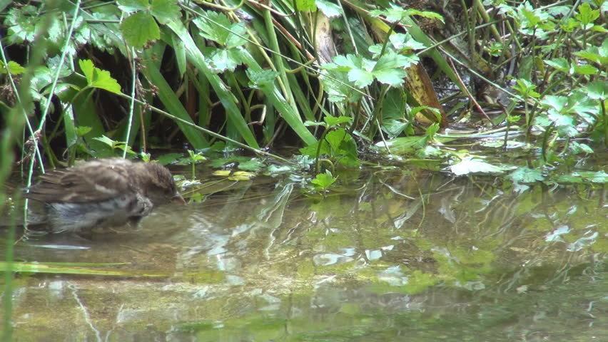 Sparrows Playing in Water, Washing, Drinking - HD stock video clip