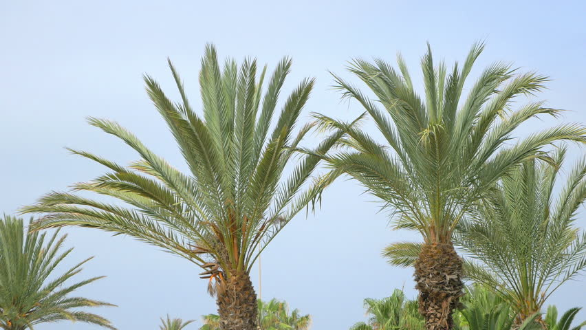 High quality video of palm tree on the blue sky in 4K | Shutterstock HD Video #25331135