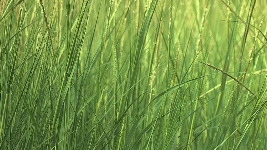 Tall green grass gently waving in the wind  - HD stock footage clip