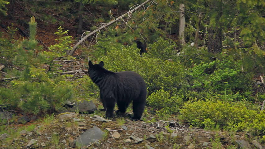 Dolly on Black Bear in British Columbia