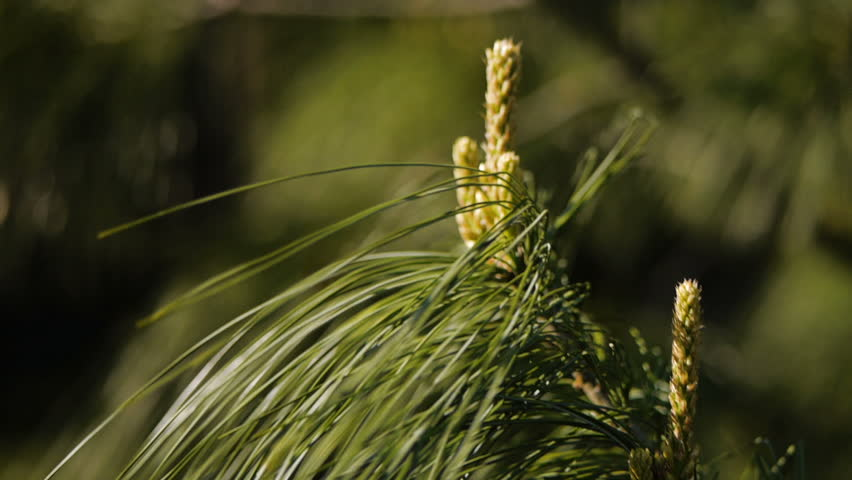White Pine definition / meaning