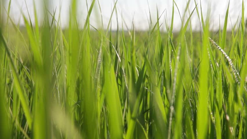 Green grass sunset close up. HD - HD stock footage clip