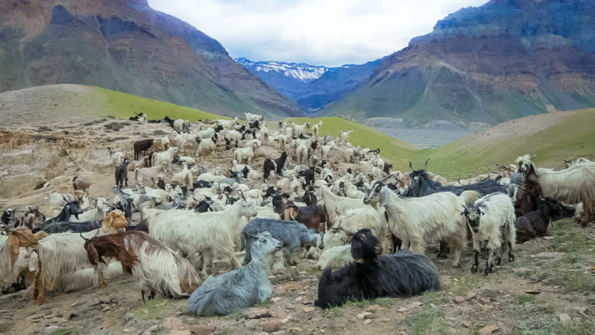 Mountain goats, Spiti Valley, Himachal Pradesh, India | Shutterstock HD Video #2612408