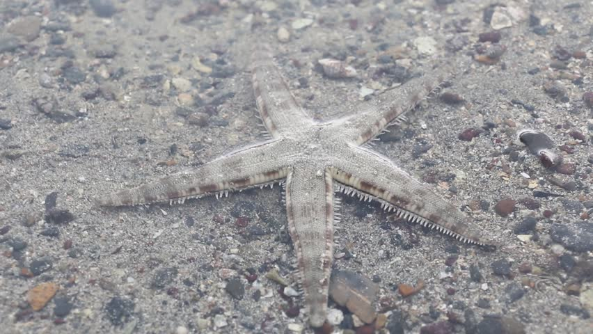 Movement of Sand star for education in laboratory. | Shutterstock HD Video #26126303
