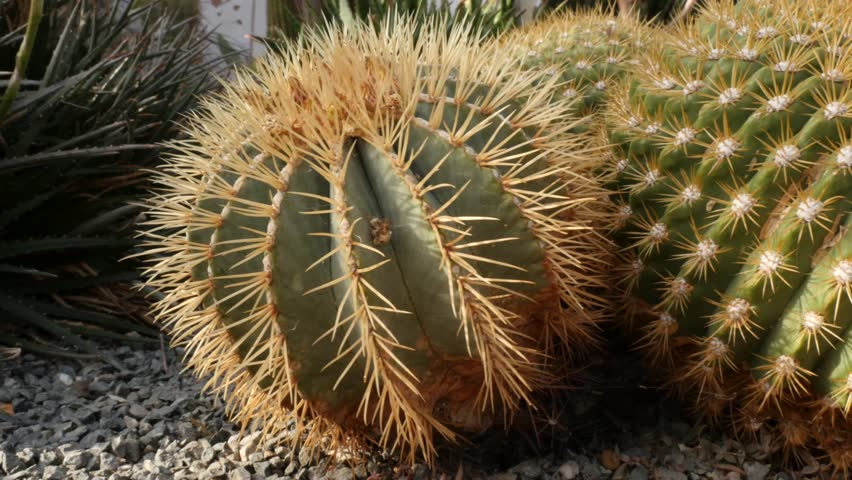Cactus plant, panning shot   Shutterstock HD Video #26229785