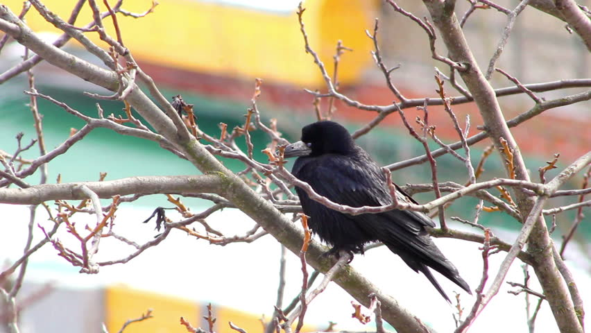 crows sitting on the branches - HD stock video clip