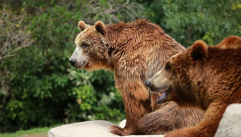 Brown Bear Looking For Food Stock Footage Video 2627402 ...  |Brown Bear Food